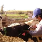 Senasa Vacunó a 262,623 Bovinos en 2016 para Prevenir Rabia Silvestre