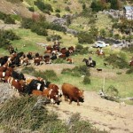 Chile Exporta Vía Terrestre 476 Bovinos en Pie a Perú