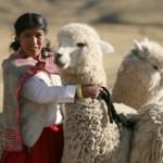 Científicos Peruanos Elaborarán el Primer Atlas Anatómico de la Alpaca