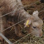 Corderos Potencian su Producción con una Alimentación Preferencial