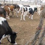 Falta de Pastizales y Sequía Afecta Ganadería de Olmos