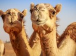 leche _de_ camella