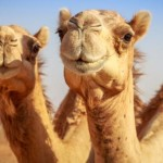 Leche de Camella es el Último Súperalimento de Moda