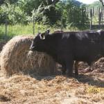 Evaluación Física y Económica de Tres Razas Bovinas Carniceras en Engorde Intensivo en Corrientes, Argentina