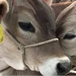 Perú Fija Requisitos Sanitarios para Importar Aves, Bovinos y Equinos desde Brasil, Chile y Argentina