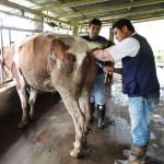 Nicaragua Apuesta por Inseminación Artificial para Mejorar Producción de Vacas y Cerdos
