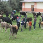 Realizan Actividad de Desparasitación de 5500 Bovinos en Chota, Cajamarca
