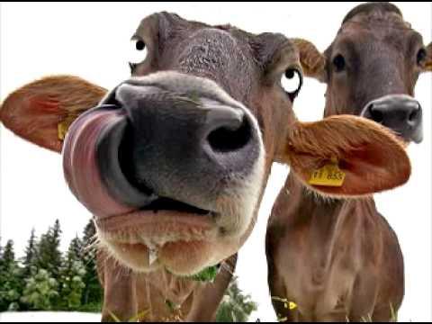 Los Priones y las Vacas más Locas – Perulactea