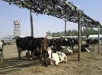 estres_calorico_en_vacas