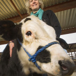 Crean Vacas Sin Cuernos Para una Mayor Seguridad de las Explotaciones Ganaderas