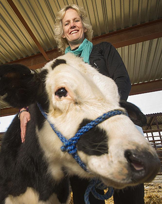 vacas_cuernos_01