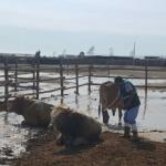 Minagri: Senasa Resguarda Sanidad Pecuaria en Todo el País