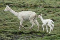 Perú es el Primer Productor de Alpacas en el Mundo