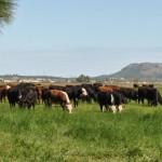 Recomendaciones para una Implantación Exitosa de Pasturas