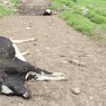 Senasa Advierte Posible Brote de Ántrax en el Perú