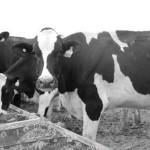 #LosMONTANAexpertos Presentan: Manejo Terapéutico de la Vaca Seca