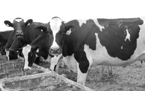 vacas_secas_