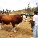 Cajamarca Desarrolla Escuela de Campo en Ganadería