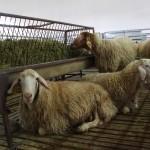 La Leche de Oveja es Más Saludable y Rentable para el Ganadero