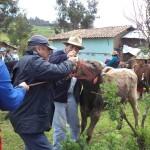 300 Ovinos y 5 Vacunos Fueron Desparasitados en Provincia de Julcán