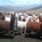Científicos Peruanos tras los Primeros Embriones de Alpaca In Vitro y Criopreservados Del Mundo