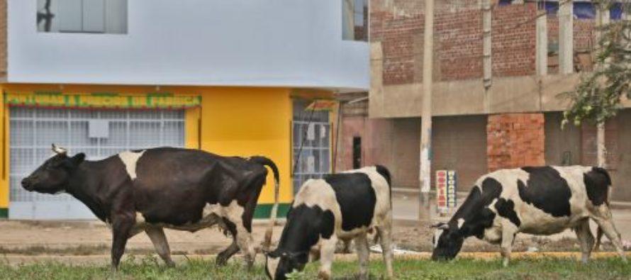 Consumir Leche o Carne de Vacas Contaminadas Puede Provocar Enfermedades