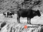 ganado_Huanuco_simulacro_fiebre_aftosa