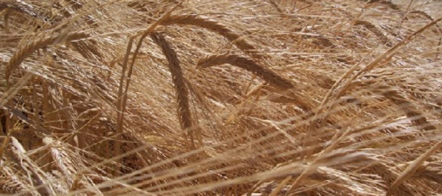 Presentan Nueva Variedad de Cebada para Alimentación de Ganado en Argentina