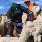 Senasa Realiza Jornada de Prevención Zoosanitaria ante Bajas Temperaturas en Puno