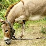 El Queso más Caro del Mundo Proviene de Leche de Burra: 1.000 euros el kilo