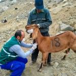 MINAGRI Vacunó 3 mil Animales como Prevención Contra Brucelosis Caprina en Áncash