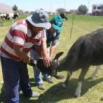 Arequipa: MINAGRI Vacunó a Más de 7580 Bovinos Contra Carbunco Sintomático