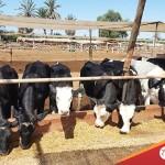 Venta de Ganado Lechero: Vaquillonas y Terneras de Ocasión