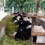 La Primera Pezonera Antibacteriana para Vacas del Mundo