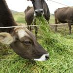 Arequipa, Cajamarca y Lima Lideran Producción de Leche en el País