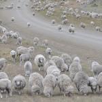 Ovinos: La Resistencia a los Parásitos que se Hereda