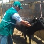 Minagri: Vacuna Contra el Ántrax en Cajamarca