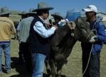 comuneros-de-espinar-recibe-vacas