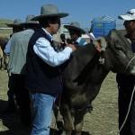 Comuneros de Espinar Reciben Vacunos en Cusco