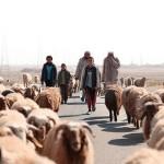 Campaña de Sanidad Animal Apoya la Seguridad Alimentaria de 230 000 Personas en Siria