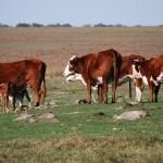 Argentina Aumenta el 5 %  del Índice de Destete para Duplicar la Exportación de Carne
