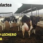Establo Lechero Pone a la Venta Lote de Ganado Holstein y 1/2 Sangre Holstein vs Brown Swiss