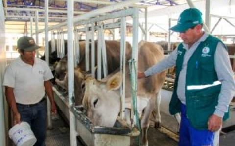 Senasa-Muestreo-de-leche-para-descarte-de-Brucelosis-bovina-en-Ancash