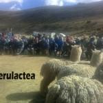 Spar-Macusani: Realizan Exitoso Remate de Alpacas y Anuncian el XXVI Acopio de Fibra de Alpaca - Campaña 2017