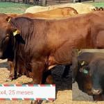 Toros 4x4: Cruzamiento para Producir la Mejor Carne Bovina en el Trópico