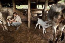 Agalep: Leche Fresca Aumentó en 20% en el Tercer Trimestre