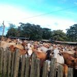 La Estrategia Sanitaria Panameña para Enfrentar la Rabia Bovina