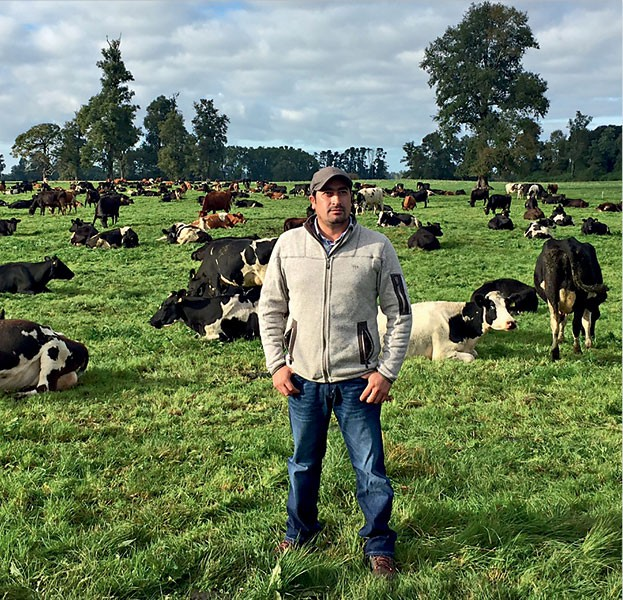 vacas_neozelandesas_en_Chile