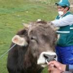 Huancavelica: Senasa Vacuna a más de 24 mil Vacunos Contra Carbunco Sintomático y Edema Maligno