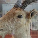 """La """"Cabra Bucardo"""" fue el Primer Animal Extinto que ha sido """"Resucitado"""" en el Mundo"""